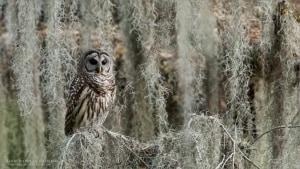 Barred Owl - Florida Tours