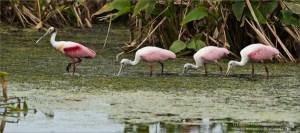 Florida Photo Tours - Roseate Spoonbills