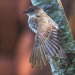 Eastern Kingbird flycatcher preening