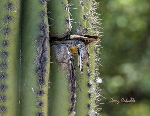 Gila Woodpecker - Tight Squeeze