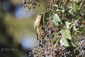 Cedar Waxwing- Bombycilla Cedrorum