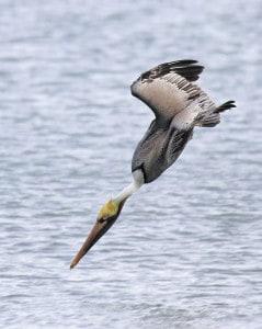 Brown Pelican, Plunge Dive