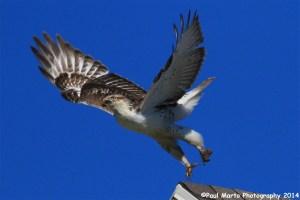 Ferruginous Hawk with Avian Pox
