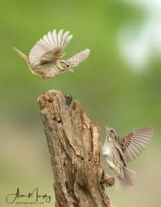Lincolns Sparrow