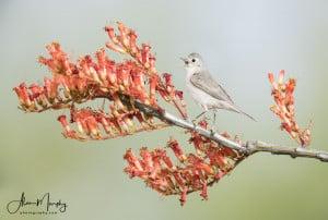 Lucys Warbler