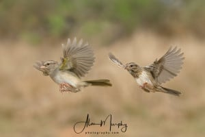Olive and Lincoln's Sparrow