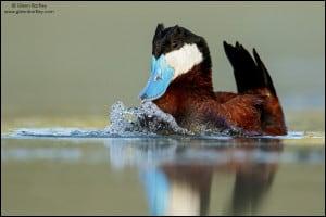 Ruddy Duck (Oxyura Jamaicensis) (3)