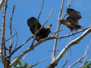 Juvenile Swainson Hawks