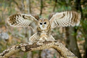 Spotted Owl Landing