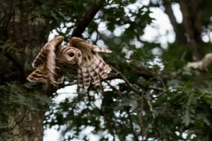 Barred Owl Take Off