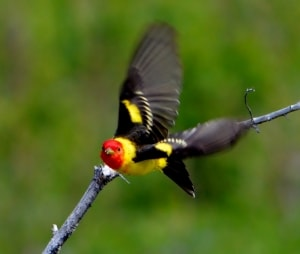 Western Tanager in Flight