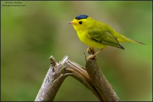 Wilsons Warbler (Wilsonia pusilla) perched on a branch in British Colombia, Canada.