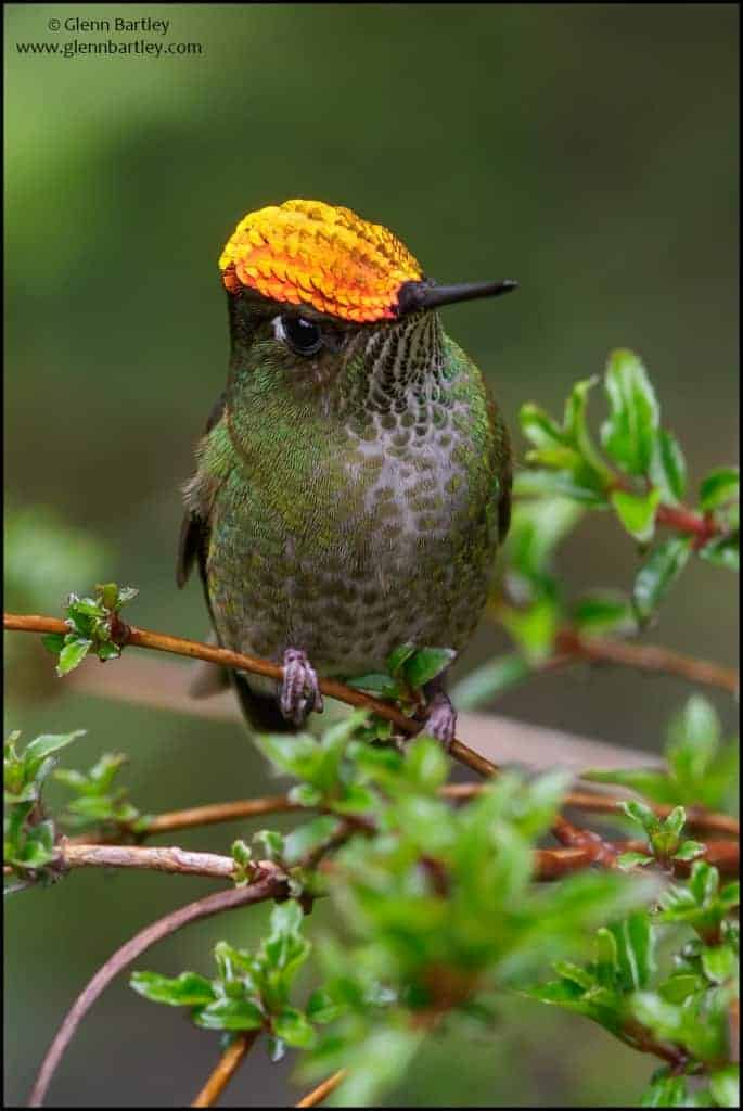 Green-backed Firecrown (Sephanoides sephaniodes)