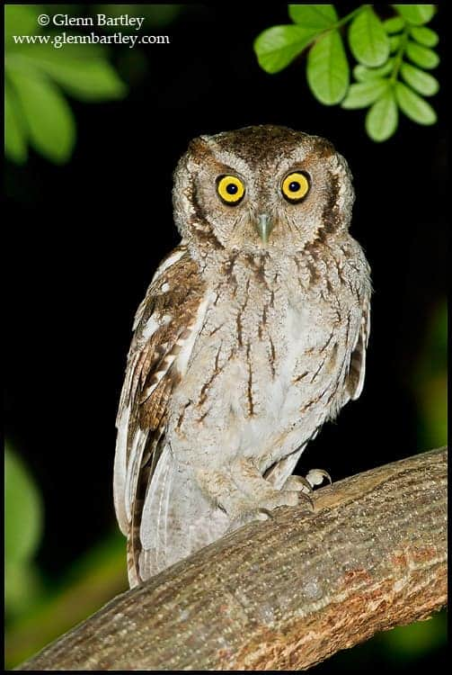 Peruvian Screech Owl (Maranon)