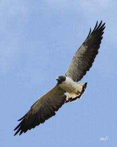 White-tailed Hawk (Geranoaetus Albicaudatus)