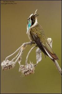 Green-bearded Helmetcrest (Oxypogon guerinii)