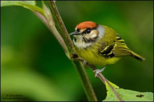 Rufous-crowned Tody-flycatcher (Poecilotriccus ruficeps)
