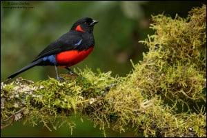 Scarlet-bellied Mountain-tanager (Anisognathus lunulatus)