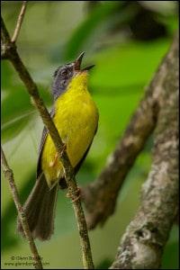 Grey-and-gold Warbler (Myiothlypis fraseri)