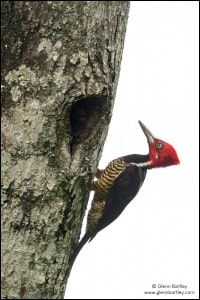 Guayaquil Woodpecker (Campephilus gayaquilensis)