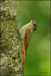 Olivaceous Woodcreeper