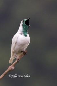 Bare-throated Bellbird(Procniasnudicollis)