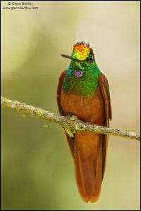 Rainbow Starfrontlet (Coeligena iris)