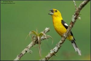 Southern Yellow-Grosbeak (Pheucticus chrysogaster)