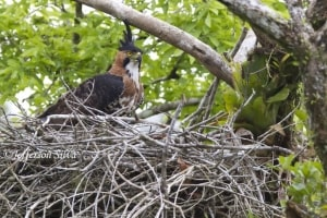 Ornate Hawk-eagleSpizaetusornatus (NT)
