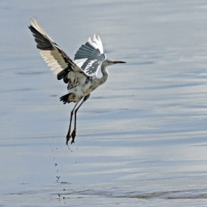 Taking Flight - Little Blue Heron, 1 Year Old