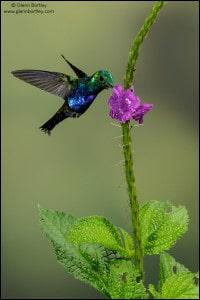 Violet-bellied Hummingbird (Damophila julie)