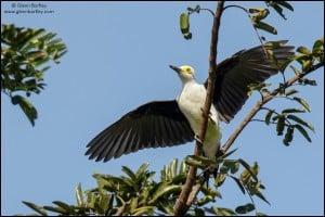 White Woodpecker (Melanerpes candidus)