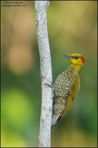 Yellow-throated Woodpecker (Piculus flavigula)
