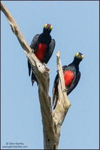 Yellow-tufted Woodpecker (Melanerpes cruentatus)