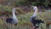 Greeting Albatrosses by Kathy Pickrell