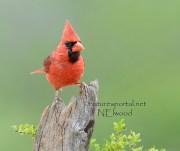 Male Northern Cardinal by  Nancy Elwood