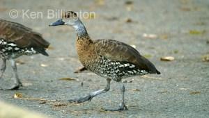 Black-billed Whistling Duck (Dendrocygna arborea)
