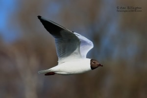 Black-headed Gull Larus ridibundus