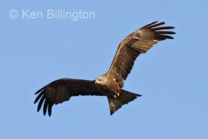 Black Kite (Milvus migrans) (11)