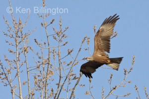 Black Kite (Milvus migrans) (12)