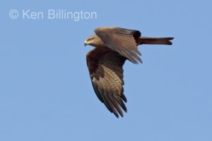 Black Kite (Milvus migrans) (14)