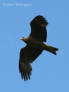 Black Kite (Milvus migrans) (03)
