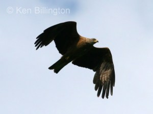 Black Kite (Milvus migrans) (07)