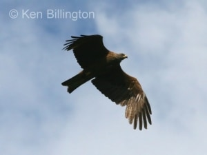 Black Kite (Milvus migrans) (08)