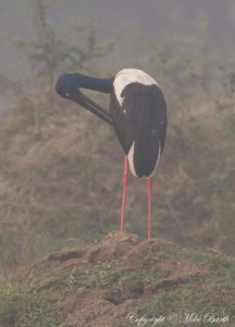Black-necked Stork Ephippiorhynchus asiaticus