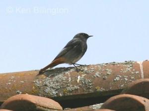 Black Redstart (Phoenicurus ochruros) (2)