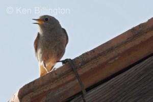 Black Redstart (Phoenicurus ochruros) (5)