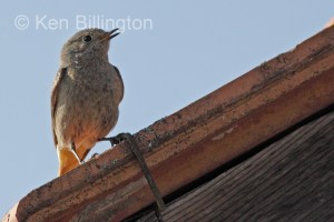 Black Redstart (Phoenicurus ochruros) (6)