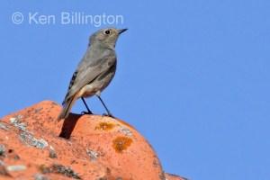 Black Redstart (Phoenicurus ochruros) (7)