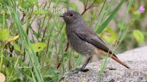 Juvenile Black Redstart (Phoenicurus ochruros) (4)